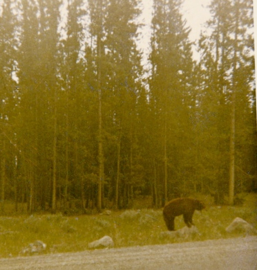 1965 Yellowstone 2 Bear